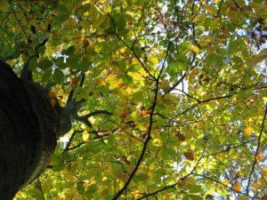 cime arbre